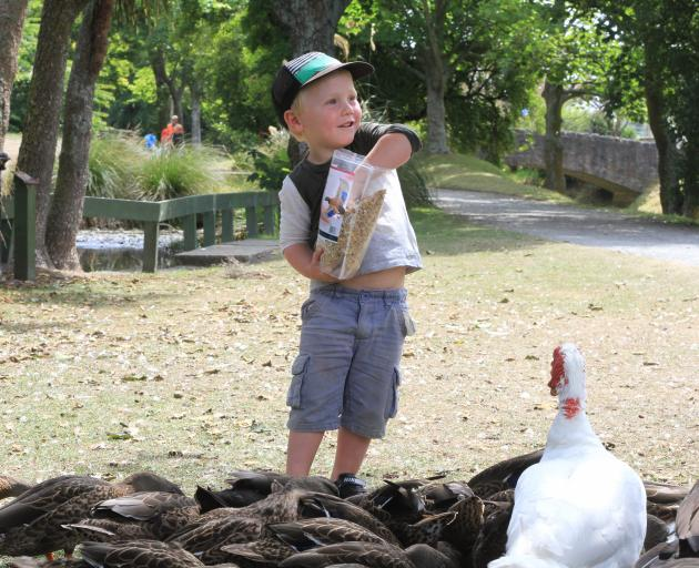 Jack Webster (3), of Oamaru, feeds the ducks in the Oamaru Public Gardens on Thursday.  Photo:...
