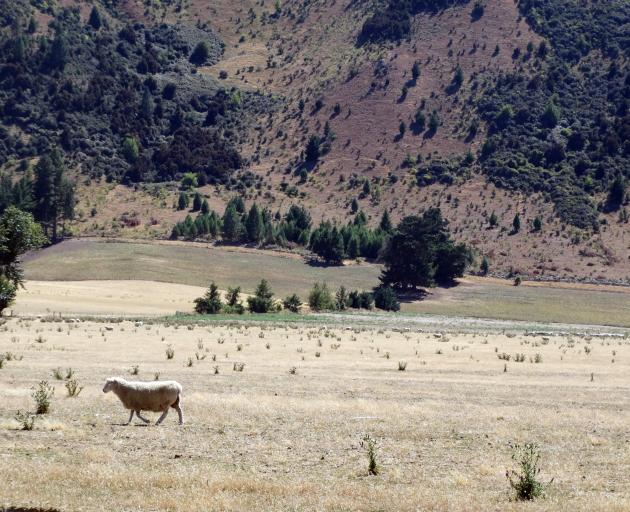 Sparse grazing opportunities are evident on Maungawera Valley Rd, near Albert Town, yesterday, one of the many pastures around Wanaka which have dried off in recent weeks. Photo: Sean Nugent