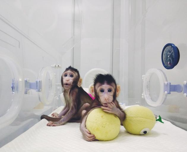 Cloned monkeys Zhong Zhong and Hua Hua are seen at the Chinese Academy of Sciences in Shanghai last month. The cloning of genetically identical primates is a major development and could lead to the creation of genetically engineered models of human disord