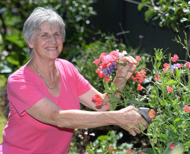 Outram Garden Club chairwoman Raewyn Hodgson picks sweet peas in her Mosgiel garden ahead of next week's flower show. Photo: Linda Robertson