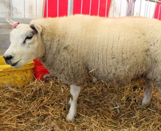 One of the Beltex sheep on show at the field days stands in the pen waiting to be examined by members of the public. Photo: Nicole Sharp