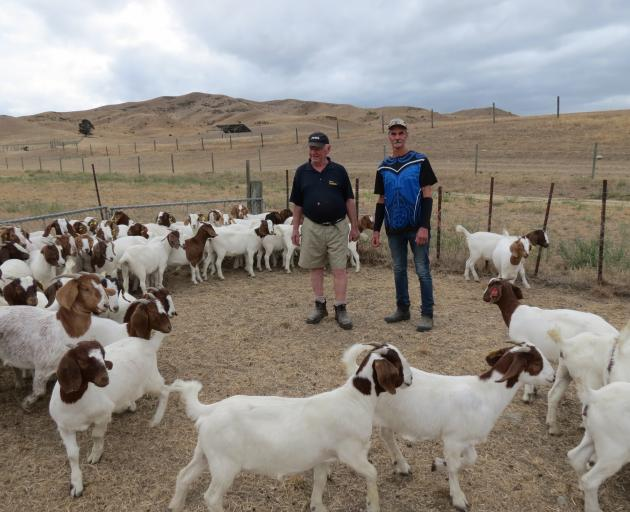 Shingle Creek Chevon shareholders Tony Grayling and Wyn Cruickshank, draft Boer goats at Chatto Creek recently for an overseas shipment. Photo: Yvonne O'Hara