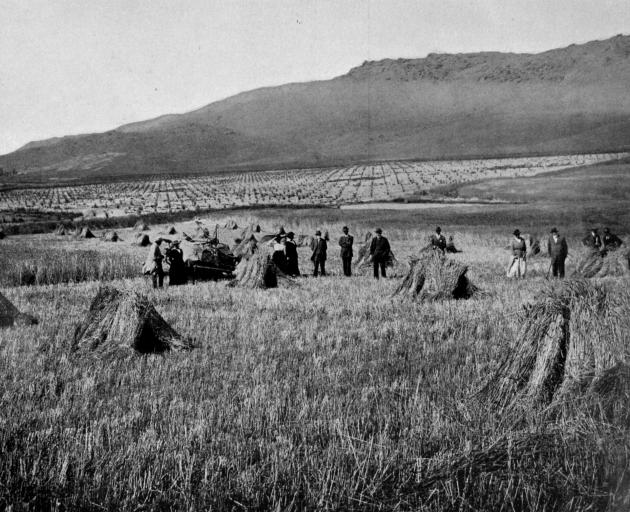 A fine wheat crop at Fruitlands, Central Otago. - Otago Witness, 13.2.1918.