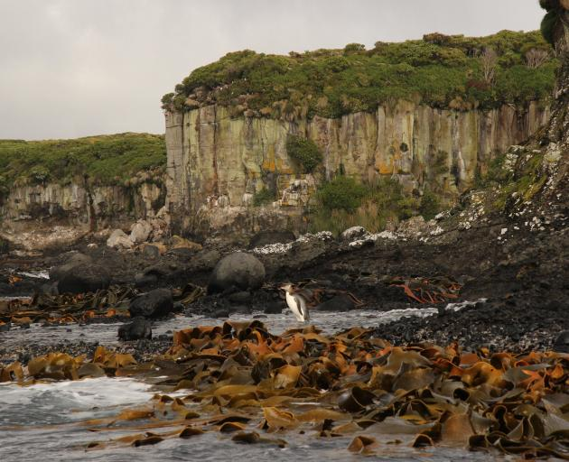 Below the cliffs of columnar basalt that line much of Enderby's coast are swaths of bull kelp....