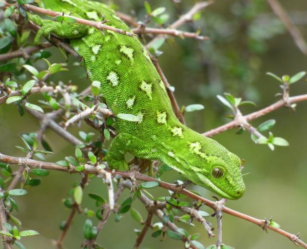 The Central Otago Ecological Trust celebrated the release of 14 jewelled geckos recently, marking...