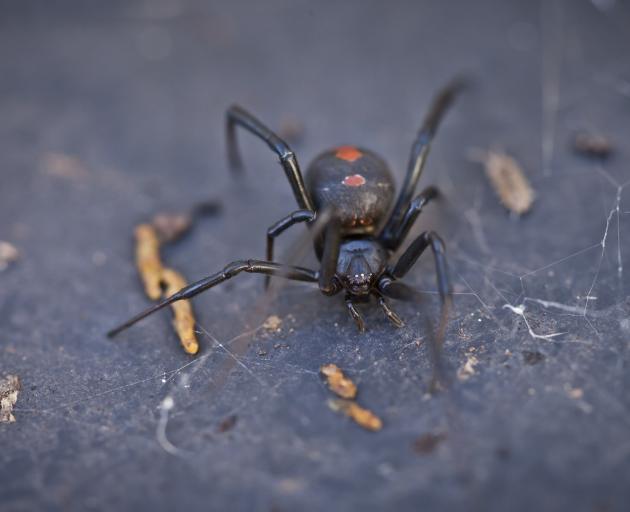 Australian redback spider, also found in New Zealand. Photo: Getty Images