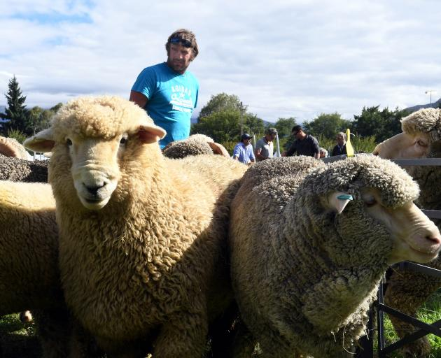 Cream of the crop ... Andrew Hore yards Romney and merino entries at the recent Wanaka A&P Show....