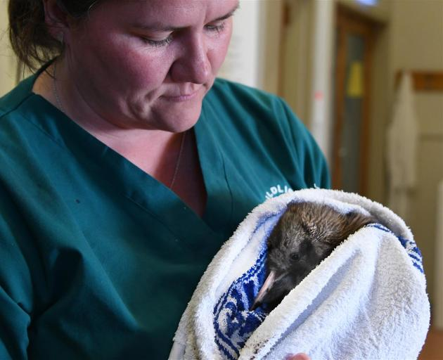 Wildlife vet Dr Lisa Argilla holds the world's rarest kiwi, a Haast kiwi, as the bird checks in for treatment at Dunedin Wildlife Hospital. Photo: Craig Baxter