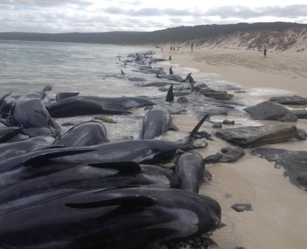 More than 140 stranded whales die on Australian beach (VIDEOS, PHOTOS)