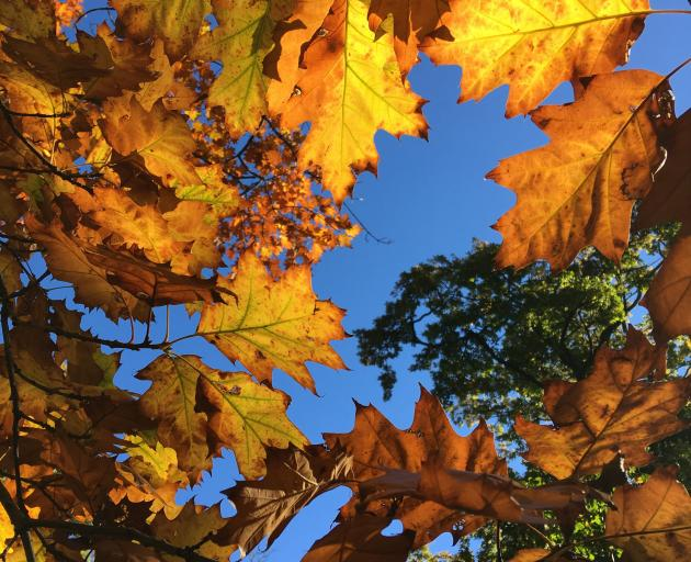 Oak leaves in Little Hagley Park, Christchurch. PHOTO: PAUL GORMAN