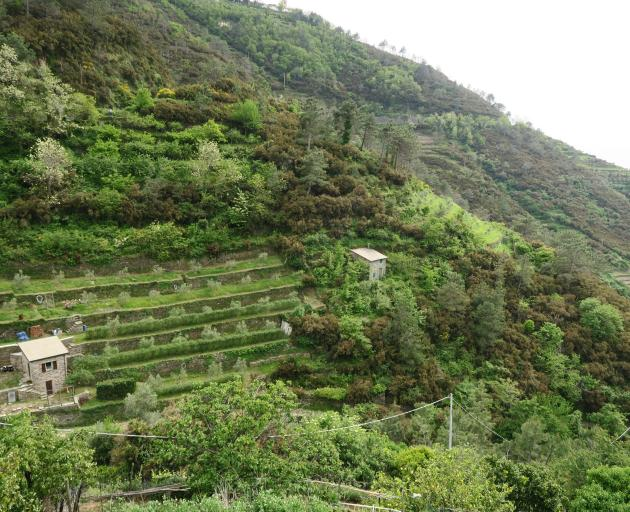 The steep stepped vineyards of Cinque Terre.