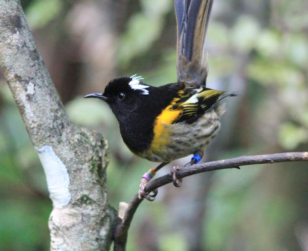 A male hihi or stitchbird perches on a branch. PHOTO: ALEX KNIGHT