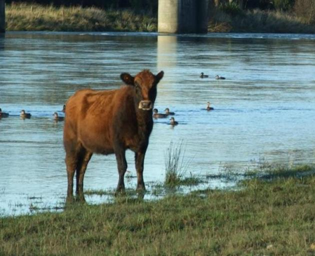 Pastoral farming areas showed concentrations of e.coli 9.5 times higher than freshwater bodies in...