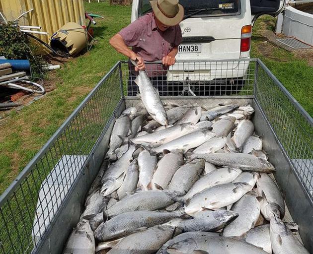 Dead salmon afte the last attack on the Dunedin Community Salmon Trust hatchery in Dunedin. Photo...