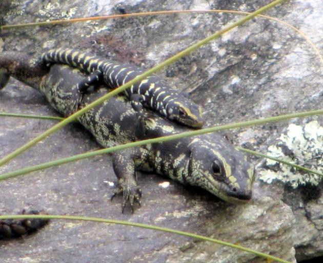 A number of Otago skinks, native to Macraes Flat, near OceanaGold's mine, now thrive at Orokonui....