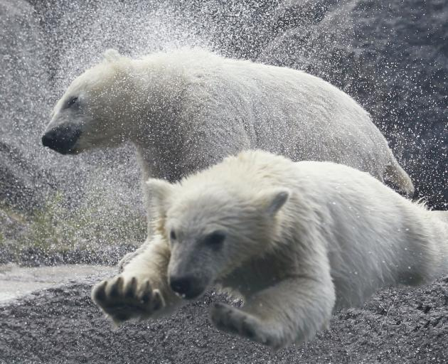 Polar bear cubs play at the St-Felicien Wildlife Zoo, Quebec. Photo: Reuters