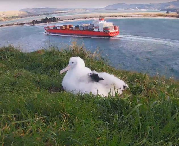 The Taiaroa Head royal albatross chick - nicknamed Dora because of her habit of wandering - is about to get a permanent name. Photo: Department of Conservation
