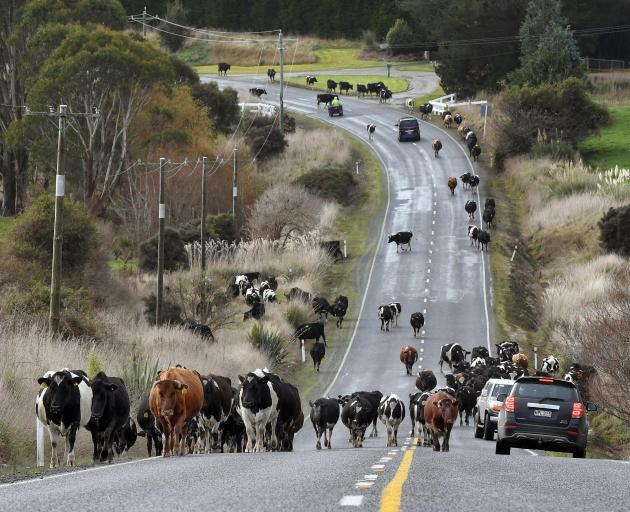 A herd of cows meander up Tunnel Hill on SH92 near Owaka on Monday. They were being driven from...