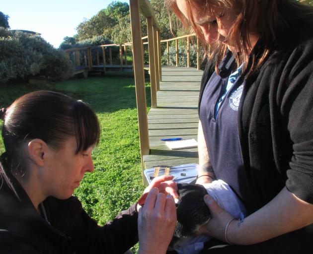Oamaru Blue Penguin Colony research scientist Dr Philippa Agnew, with assistance from colony...