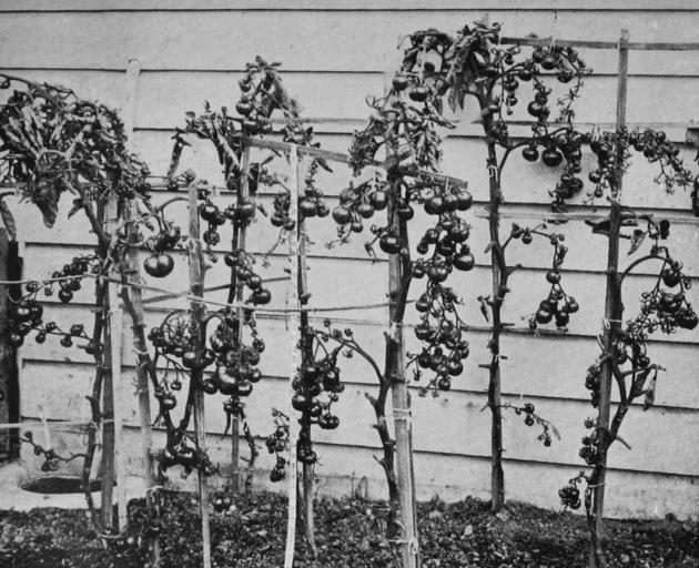 Ripe, outside-grown tomatoes, pictured on May 14, bear testimony to the genial Roslyn climate this year. - Otago Witness, 19.6.1918.