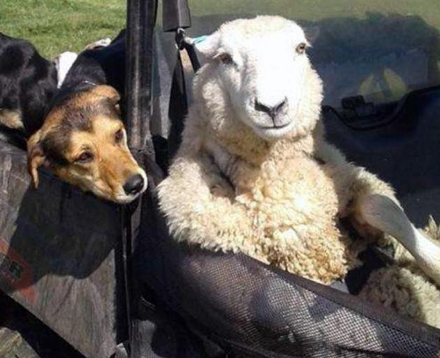 Taupo farmer Josh Jackson's sheep relaxes in the front seat. Photo: Supplied