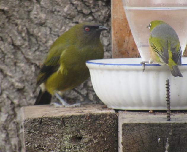 A bellbird and silvereye discuss access to a sugar-water feeder in the Alexandra garden of Cath...