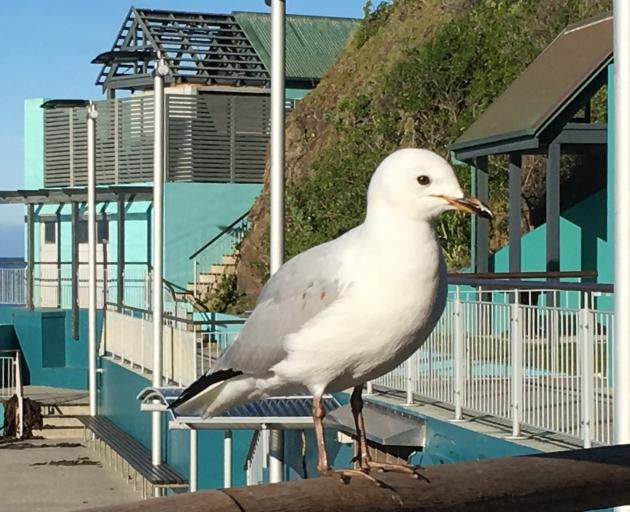 The bacon-snatching gull at St Clair. PHOTO: PAUL GORMAN