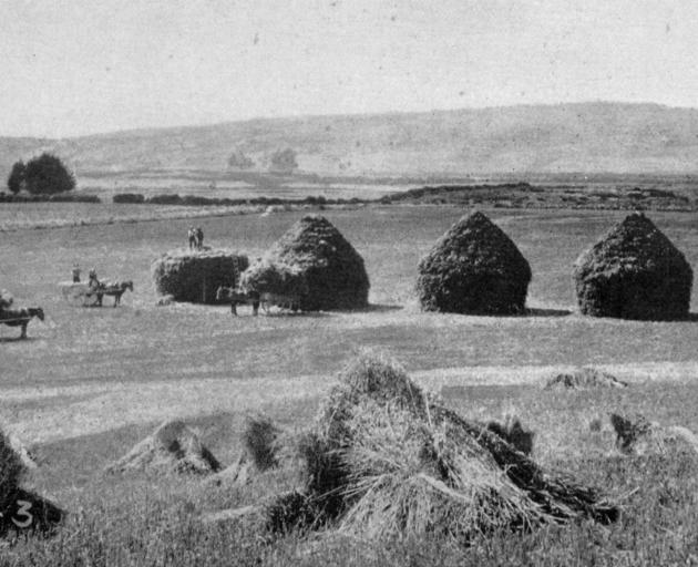 Stacks of sheaves built with skill and symmetry during the harvest on Mr Elder's Estate at Hokonui, Southland. - Otago Witness, 7.8.1918.