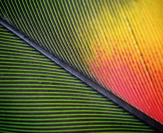 A close-up of a parrot feather.