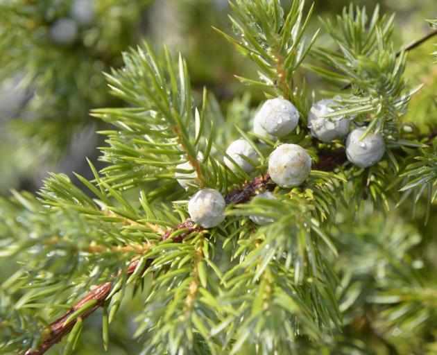 Juniperus rigida var. conferta.PHOTO: GERARD O'BRIEN