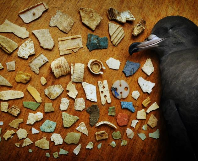 Flesh-footed Shearwater from Lord Howe Island in Australia with pieces of plastic found in it's...