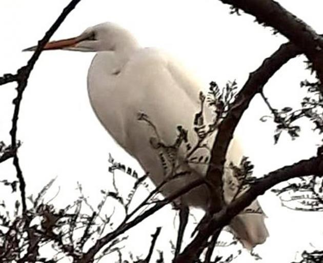 The white heron which landed on Janice Armstrong's roof in Ashburton last week after scoffing a few silvereyes for sustenance. Photos: Liz Conley