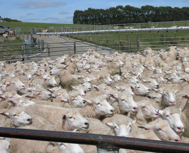 There is an urgency to identify remedies for the wool industry's problems. Photo: Yvonne O'Hara