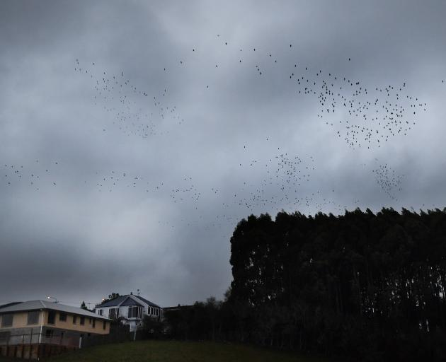 Under lowering skies, a mass of starlings wheel and perform before roosting for the night in a...