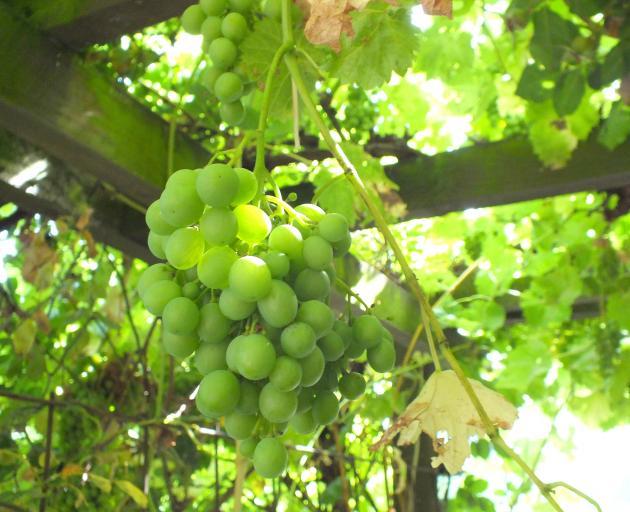 White grapes on a pergola in a Roxburgh garden.