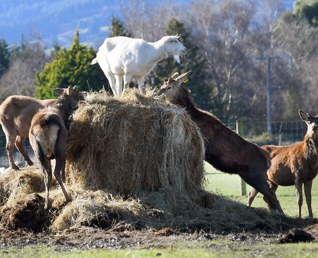 A goat holds the high ground as it shares baleage with deer in Riccarton Rd on the Taieri. Photo: Stephen Jaquiery