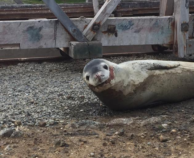 Oamaru's leopard seal appears to have eaten some of Oamaru's other wildlife before settling down for a nap at the harbour. Photo: Supplied