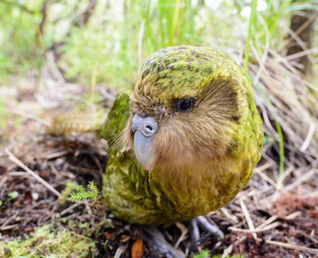 Official spokesbird for conservation and social media influencer, Sirocco. Photos: Jake Osborne