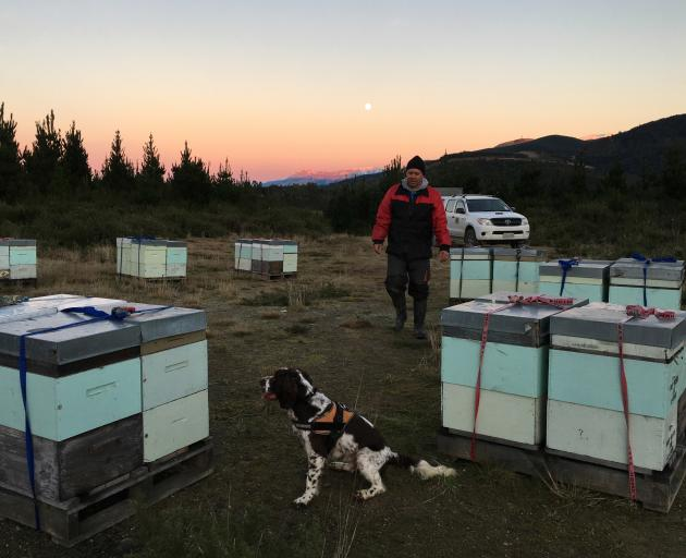 Rene Gloor, of Rene Gloor Canine Ltd, Dunedin, has trained dogs to detect biosecurity risks through odour. Flynn is one of several dogs he intends to use as part of the Southern Beekeepers Discussion Group's Sustainable Farming Fund project to develop too