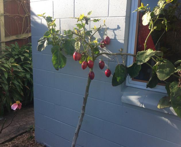 We had the Ravensbourne kiwifruit vine and now we've got tamarillos in Northeast Valley. Heather Murray says the tree, from a local nursery, grew rapidly against a north-facing wall. This is its first year of bearing fruit and it has produced 16 tamarillo