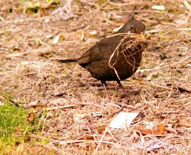 Ben Pearse, of St Clair, has been watching this blackbird, one of a pair, busily collecting all...