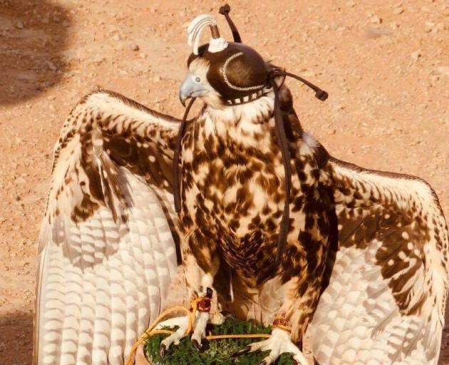 The majority of the falcons used each year in the Arabian peninsula are imported from overseas. Photo: Deborah Heron
