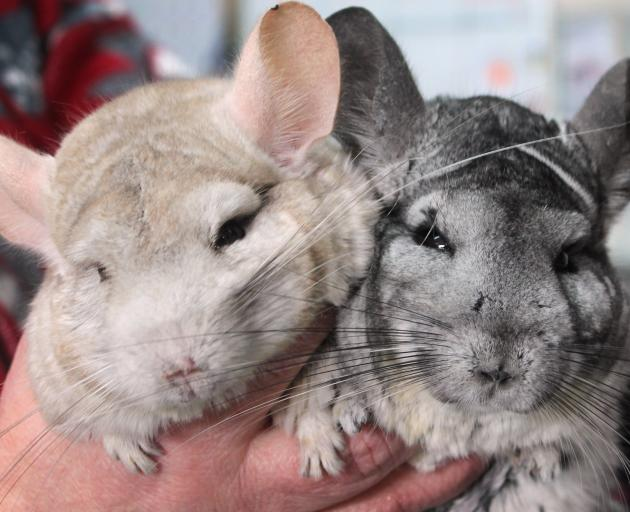 Chinchillas Willow and Gizmo at East Road Pets in Invercargill.