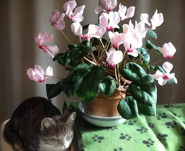 "Doreen Tyree's cyclamen is not just any old cyclamen. ""My husband gave me this pot plant when my son was 13 months old. He is now 64. Is this a record?'' That is pretty impressive, Doreen! (Pssst, Doreen says the cat isn't real.) Photo: Doreen Tyree"