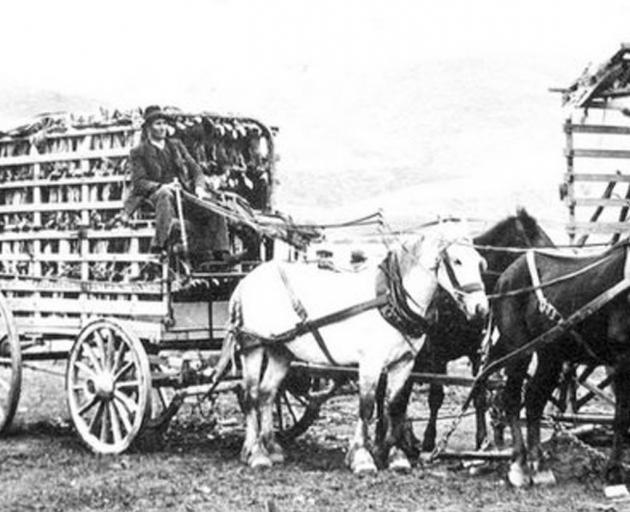 Sam McClelland about to leave Millers Flat with a full wagonload of dead rabbits for the railhead at Edievale in West Otago. Notice how the rabbits are hung up in the wagon for full ventilation. Photo: Teviot District Museum
