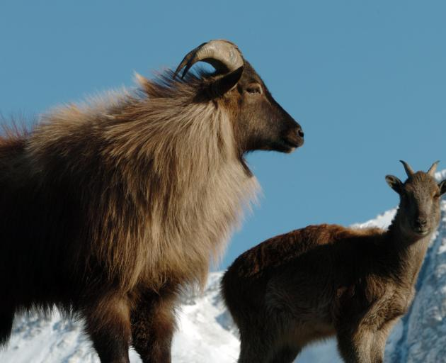 A young bull tahr and kid on Mesopotamia Station near the upper Rangitata River in Canterbury,...