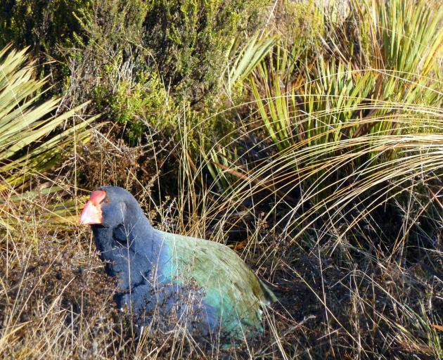 A takahe in its natural habitat. Photo: Alina Suchanski