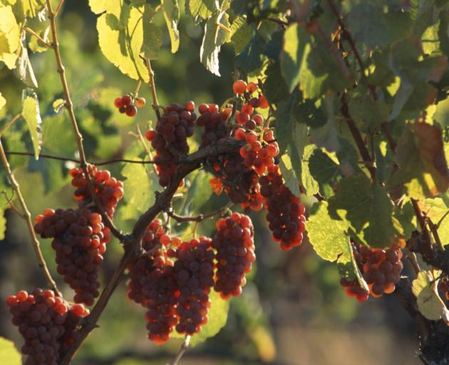 Gewurztraminer grapes on vine. Photo: Getty Images