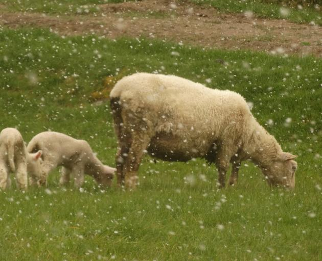 A ewe and two lambs keep their backs to driving snow by Malaghans Rd, near Coronet Peak, this afternoon. Photo: Guy Williams