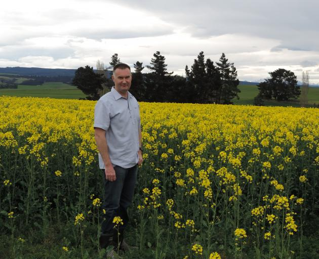 This oilseed rape crop, which will provide poultry feed, will be as high as Brent Craig's shoulder when it is harvested in January.